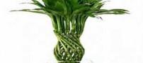 کاربردهای بسیار جالب گیاه بامبو !!