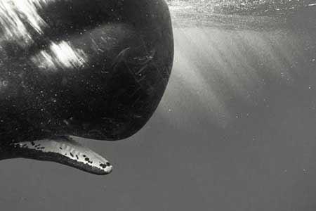 شنا کردن با نهنگ های عنبر + عکس