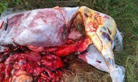 عکس های خونین دختری برهنه در شکم اسب