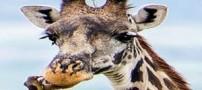 زرافه ای که دندان هایش را جرم گیری می کند! + عکس