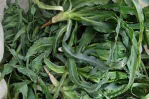 معرفی گیاه جادویی شنگ