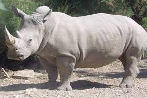 حیوانی که فقط 4 رأس آن در دنیا باقی مانده !