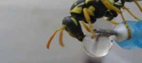 عکس های ناب از لحظه های آب خوردن زنبور