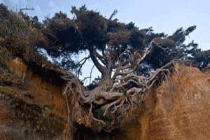 درخت عجیبی که بین زمین و هوا معلق است (عکس)