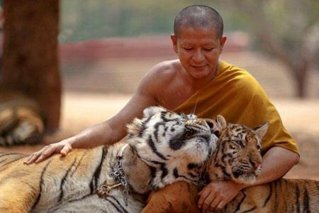 عکسهای دیدنی و جالب از معبد ببرها در تایلند