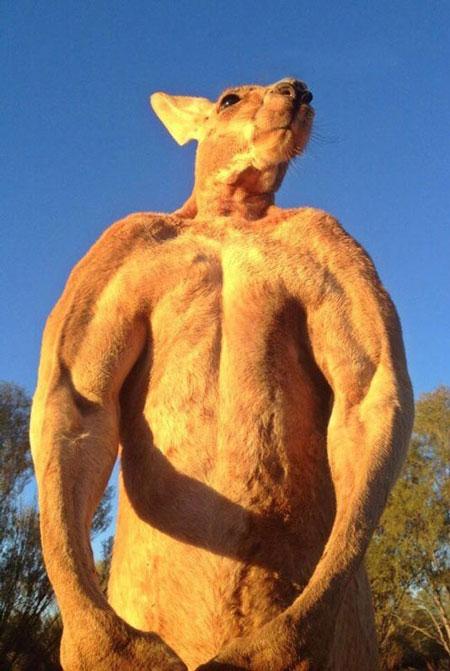 عکسهایی جالب و دیدنی از کانگوروی بدنساز