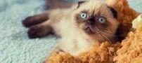 یک گربه 18 ماهه شهردار شهر سیبری است (عکس)