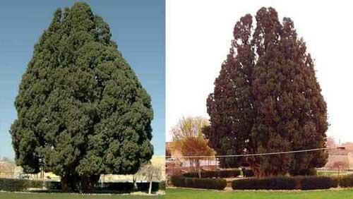 این درخت قطور به دست پسر نوح در یزد کاشته شده (عکس)