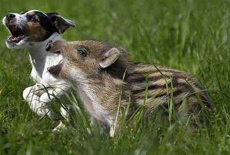 این توله سگ بچه گراز وحشی را از گرسنگی نجات داد (عکس)