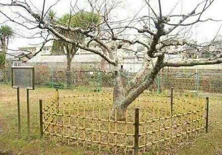 عکس های واقعی درخت سیب معروف نیوتن