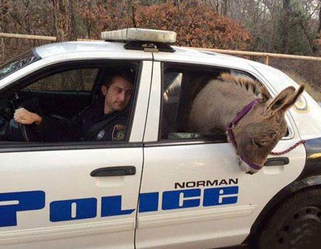 دستگیر شدن الاغ فراری سوار بر ماشین پلیس! (عکس)