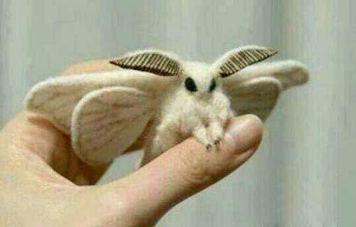 پروانه بابيلس بامزه ترین حشره عجیب جهان (عکس)
