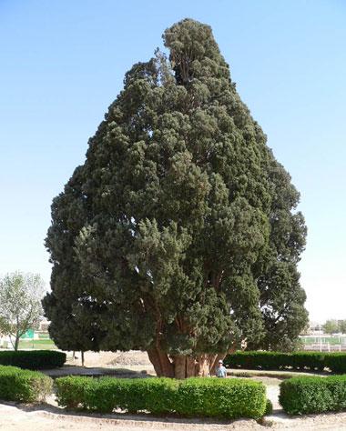 درختان کهن کره خاکی که هنوز زنده اند (عکس)