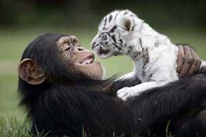 شامپانزه مهربانی که از بچه ببرها نگهداری می کند (عکس)