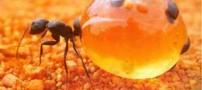 آیا می دانید مورچه عسل چیست ؟
