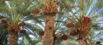 تاریخچه نخل خرما در ایران و خواص آن