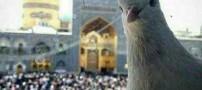 عکس سلفی کبوتر حرم امام رضا با حرم مطهر ایشان