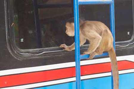 میمون باهوشی که اتوبوسی را دزدید و شهر را بهم ریخت (عکس)