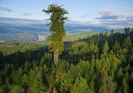 درختی که رکوردار بلندترین درخت دنیا است (عکس)