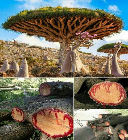 عکس های درخت خون اژدها که خون گریه می کند