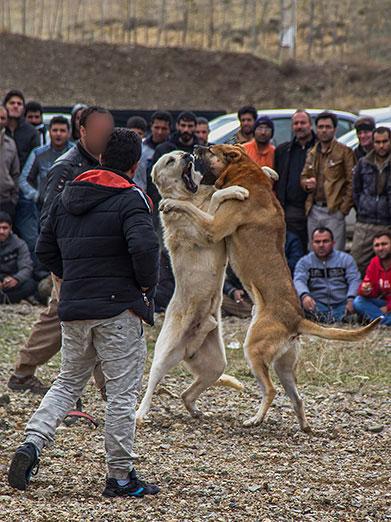 تصاویری از نبرد خونین سگهای وحشی در شهر زنجان