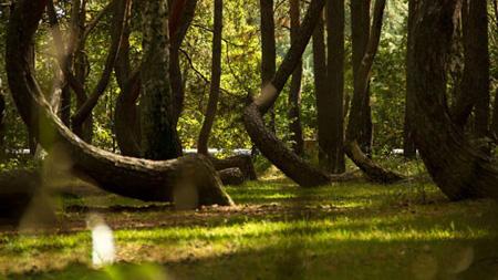 جنگل مرموزی که درختانش با زاویه قائم رشد می کنند (عکس)