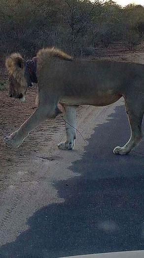 فیسبوک جان این شیر زخمی را از مرگ نجات داد! (عکس)