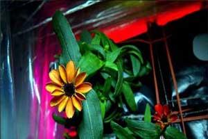 عکسهای نخستین گلی که در فضا رشد کرده است