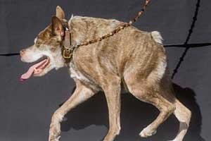 خوفناک ترین سگ معلول دنیا را ببینید (عکس)