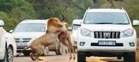 عکسهایی نادر از شکار شیرهای گرسنه وسط جاده