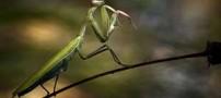 حشره ای مفید برای گیاهان به نام آخوندک (+تصاویر)