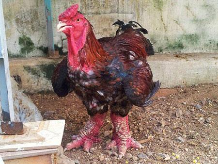 عکس هایی از مرغ و خروس های نژاد دار با پاهای اژدها