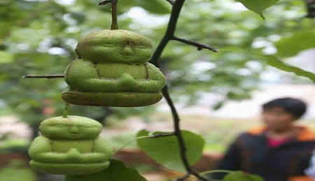 کاشت گلابی های جالب شبیه انسان در چین (عکس)