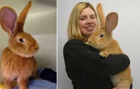 خرگوش قهوه ای رنگ و غول پیکر به اندزه سگ (عکس)