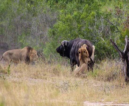 تصاویر حیات وحش از جنگ خونین گاومیش با دو شیرنر