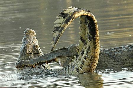 عکس های دیدنی از جنگ دو تمساح غول پیکر