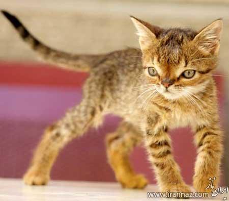 نخستین گربه مبتلا به سندرم داون در جهان (عکس)