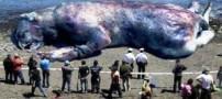 کشف یک موجود ناشناخته غول پیکر در ساحل چالوس (عکس)
