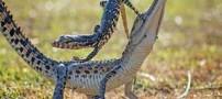 عکس های دیدنی از کولی گرفتن حیوانات از یکدیگر