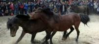 فستیوال جالب جنگ خونین اسبها در چین (عکس)