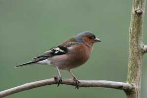 پرنده دو جنسه ای که هم نر است هم ماده (عکس)