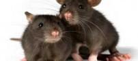 واکنش موش های نر و ماده هنگام ترس و خطر