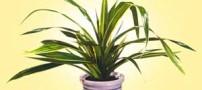 آشنایی با گیاه پاندانوس و شرایط نگهداری از آن