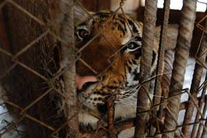 معبد ببرها در تایلند مکانی گردشگری با آزار دادن حیوانات
