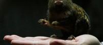 کوچک ترین میمون جهان اندازه یک کف دست (عکس)