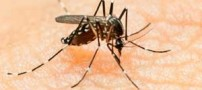 آشنایی با ویروس خطرناک زیکا که پشه ناقل آن است