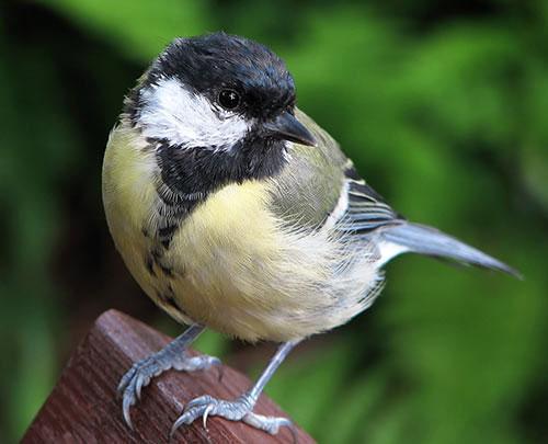پرنده ای زیبا که لقب زامبی را گرفت (عکس)