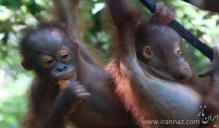 میمون هایی که به مدرسه می روند (عکس)