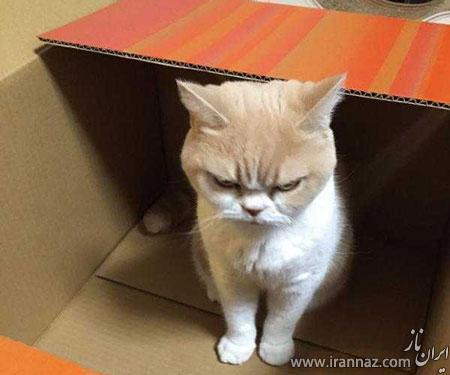 عکسهای دیدنی از یک گربه اخمالو و بی اعصاب