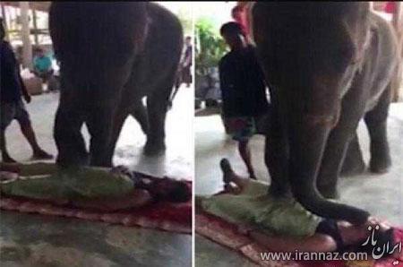 ماساژ درمانی عجیب با راه رفتن فیل روی انسان (عکس)
